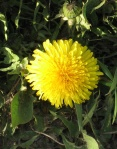 img_firstdandelion