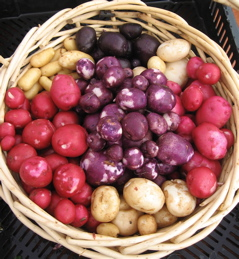 2007 early potato sample basket