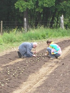 Planting lettuce, row by careful row