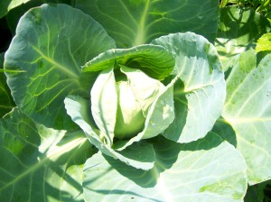 Green cabbage gets ready for its debut