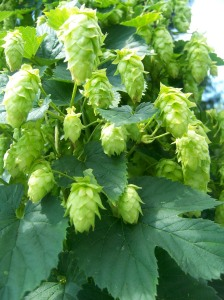 The hops are hopping
